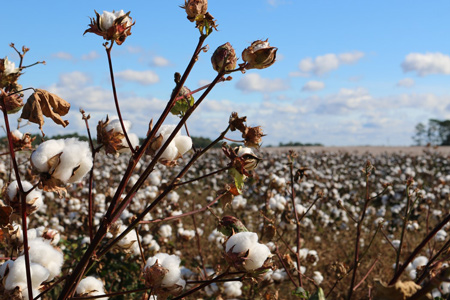 Processing of cotton
